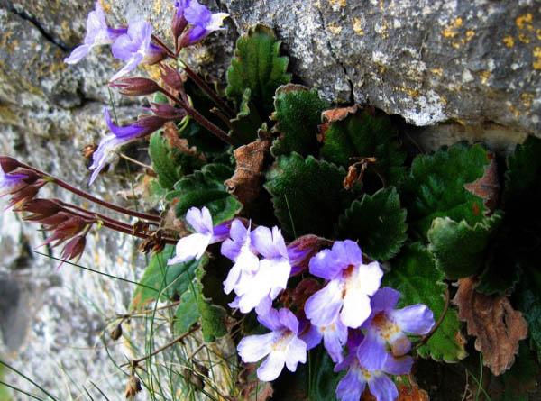 Цветето Силивряк дар от бога